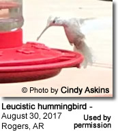 White Hummingbird photographed in Arkansas