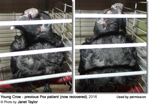 Crow suffering from Avian Pox