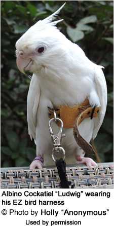 Ludwig wearing the EZ Cockatiel Harness