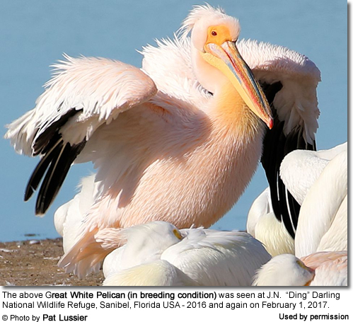 Great White Pelican in the USA (Breeding Plumage)