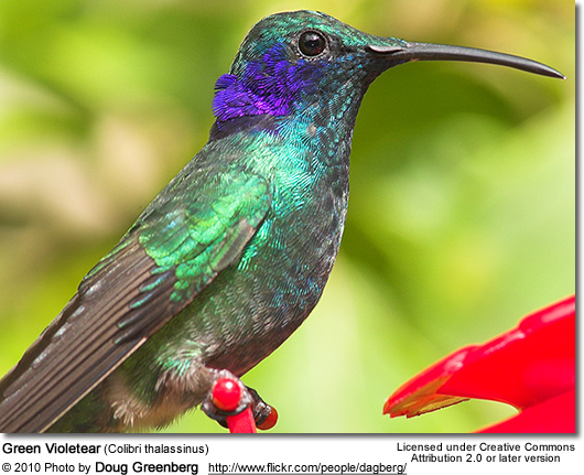 Green violet ear hummingbird