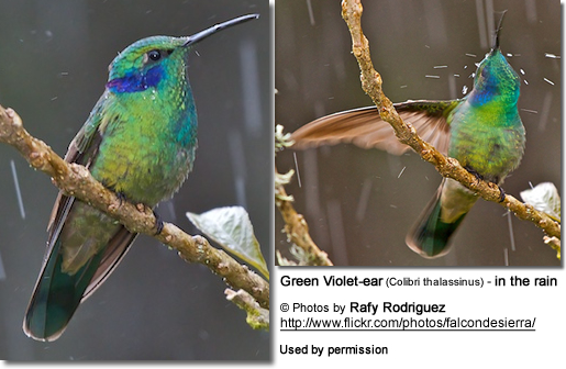 Male Green Violet Ear Hummingbird