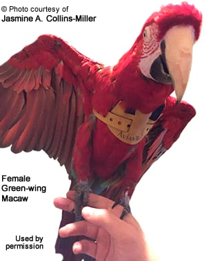 Female Green-wing Macaw wearing an EZ Bird Harness