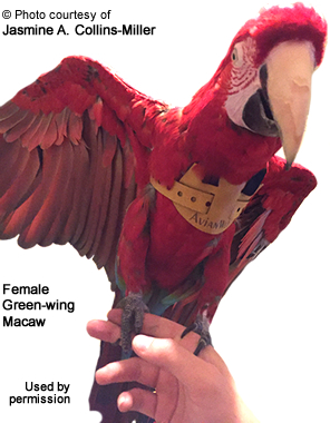 Green-wing Macaw - Female called
