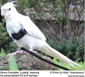 Black Cockatiel Harness