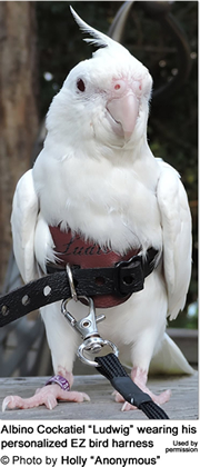 Avianweb EZ Bird Harness - Albino Cockatiel ludwig