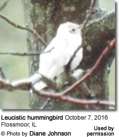 White Hummingbird in Illinois
