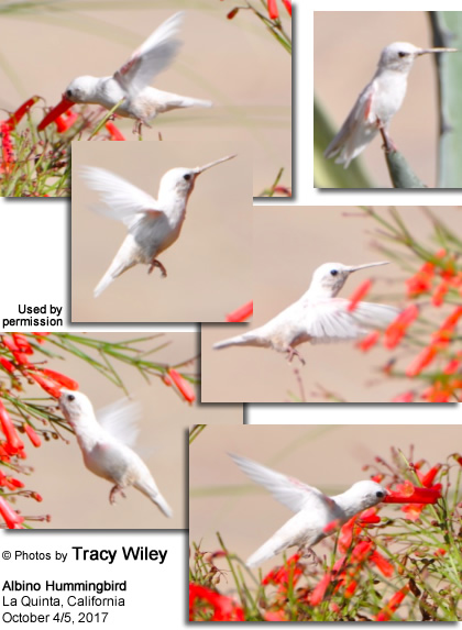 White Hummingbird photographed in La Quinta, California - courtesy of Tracy Wiley
