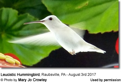 White hummingbird in Pennsylvania, USA