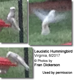 White hummingbird in Virginia
