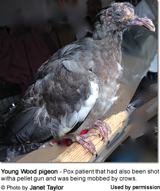 Wood Pigeon with Avian Pox