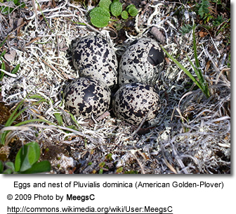 American Golden Plover Eggs