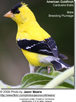 Breeding Male Goldfinch