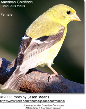 Female American Gold Finch