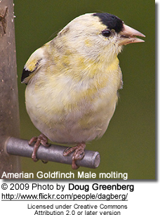 American Gold Finch going through molt