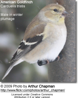Winter plumage of American Goldfinch