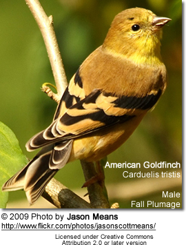 Fall Plumage Gold Finch