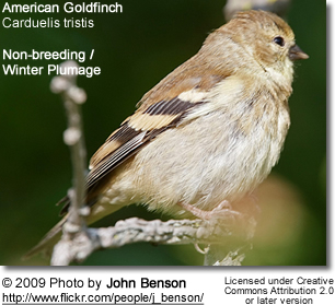 American Gold Finch Winter Plumage