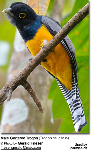 Male Gartered Trogon