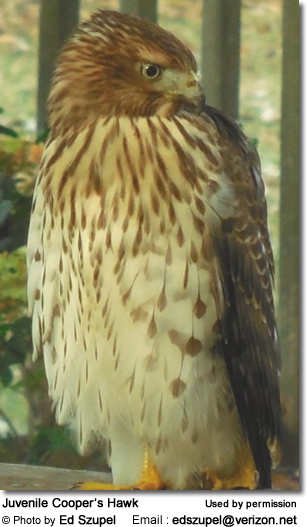 Juvenile Cooper'as Hawk