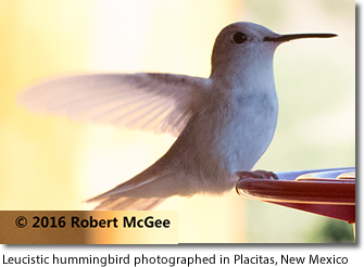 New Mexico - Leucistic Hummingbird