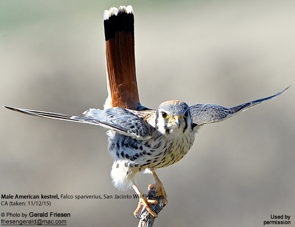 Male American Kestrel