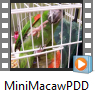 Mini Macaw with PDD