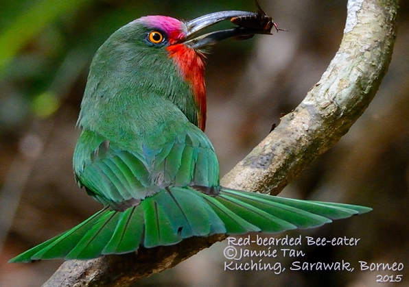 Red-bearded Bee-eater - Male