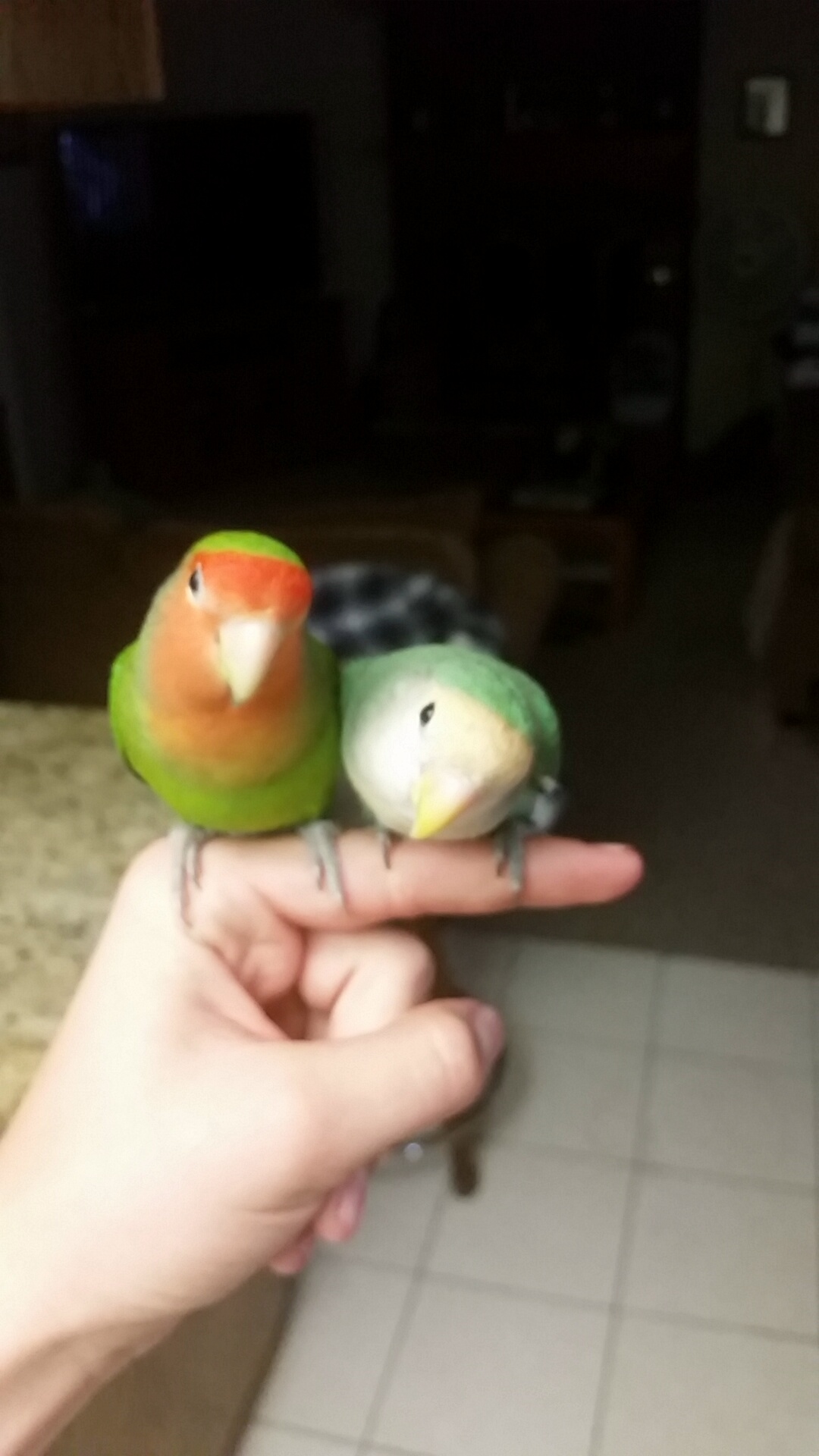 Love birds - what gender?