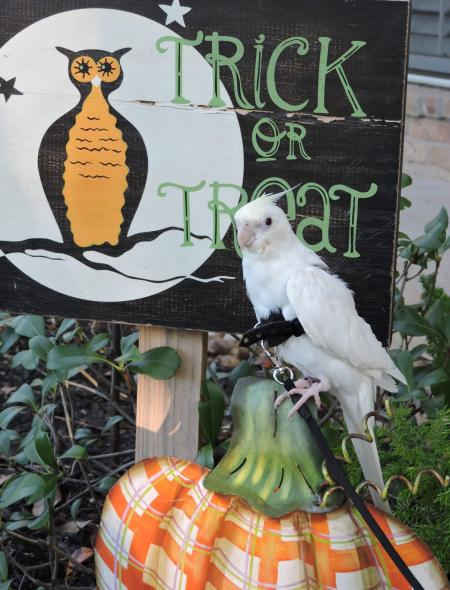 "Albino Cockatiel ""Ludwig"" out ""trick-or-treating"""