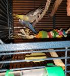 Looking to adopt out my two birds to a new loving home at no cost.