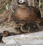 Ducks image 11