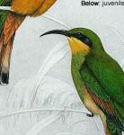 Bee-eaters image 3