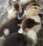 Ducks image 16
