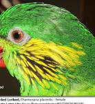 Ricky, Red-flanked Lorikeet, Charmosyna placentis - Female