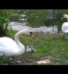 Swan family, new born Cygnets.