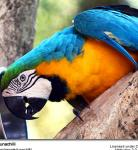 Blue-and-yellow Macaw (Ara ararauna), also known as Blue-and-gold Macaw