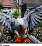 Congo African Grey Kilaya in Flight