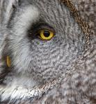 Great Grey Owl (Strix nebulosa) - Female