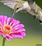 Black-chinned Hummingbird - Feeding