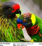 Green-naped Lory and Yellow-streaked Lories