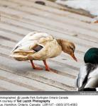 Ducks image 13