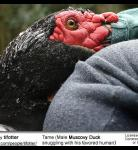 Muscovy Duck (Cairina moschata) - Tame
