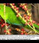 Norfolk Island Green Parrot (Cyanoramphus cookii)