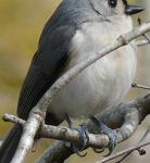 Chickadees and Titmice image 4