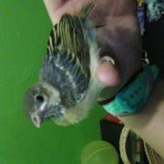 A weaver sitting on my hand.