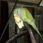 Indian Ringneck Eating