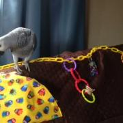 African Grey using our new Fitted Pet Bird or Small Pet Play Gym