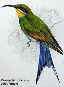 Bee-eaters image 4