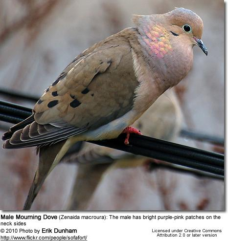 Sync Mourning Dove